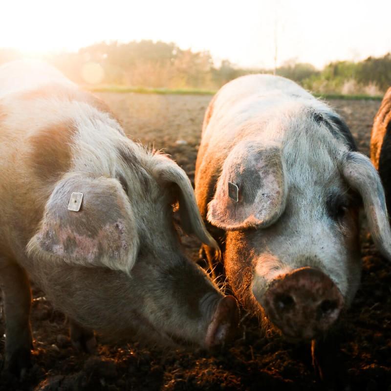 media/image/Unsere-Tiere-Schweine-1.jpg