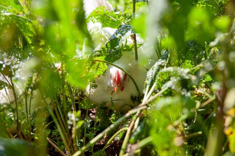 media/image/Hahnchen-versteckt-Bild-1.jpg